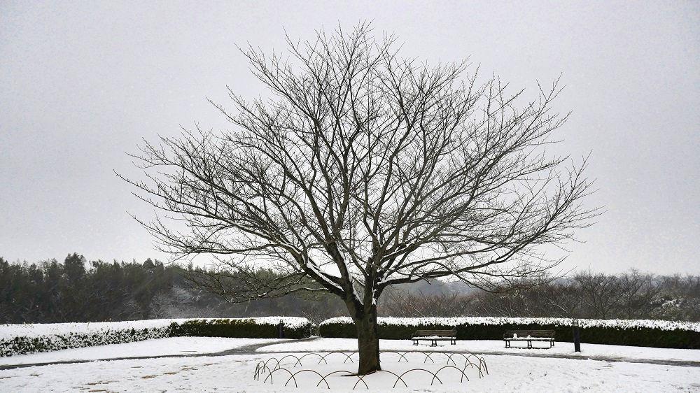 三里塚さくらの丘の桜の樹