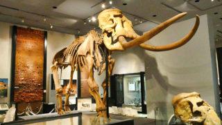 千葉県立中央博物館の巨大ナウマンゾウの骨格標本