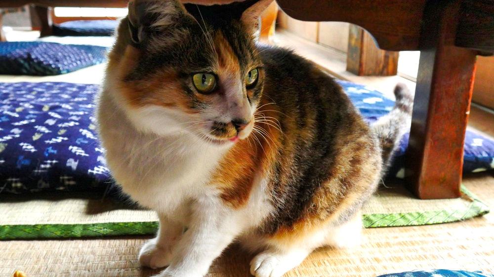 古民家空間 風楽(ふら)のアイドル猫そうちゃん