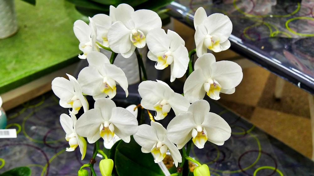 【体験レポート】ホームセンターから胡蝶蘭を発送してみましたが想像以上に安かったです!
